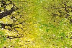 Grön trädnatur för Ginkgo arkivbild