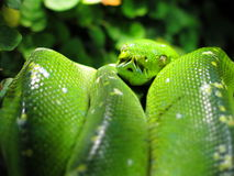 Grön trädpytonorm Royaltyfria Bilder