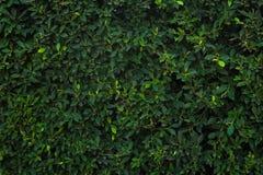 Grön trädvägg för closeup texturerad bakgrundsmodell Arkivfoton