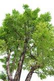 grön tree Arkivbilder