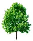 grön tree Fotografering för Bildbyråer