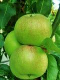 grön tree för äpplen royaltyfria bilder