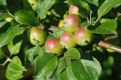 grön tree för äpplen Fotografering för Bildbyråer
