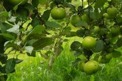 grön tree för äpplen Arkivbilder