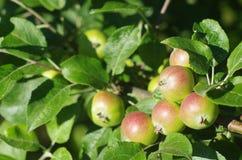 grön tree för äpplen Arkivbild