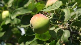grön tree för äpplen Organisk frukt Härliga äpplen mognar på en filial i strålarna av solen _ stock video