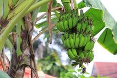 grön tree för banan Arkivfoton