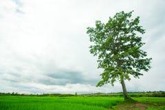 grön tree för fält Royaltyfri Foto