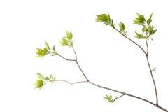 grön tree för filial Arkivbilder