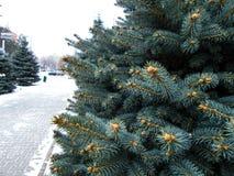 grön tree för gran Fotografering för Bildbyråer