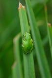 grön tree för groda Arkivfoton