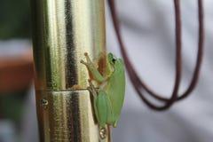 grön tree för groda Fotografering för Bildbyråer
