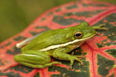 Grön treefrog (den cinerea hylaen) Arkivfoton
