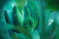 Grön Treepytonorm Arkivfoton