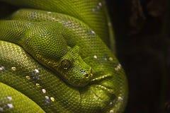 Grön treepytonorm - Morelia viridis Arkivfoton