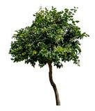 grön treewhite Arkivfoton