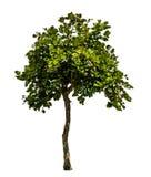 grön treewhite Royaltyfria Bilder