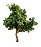 grön treewhite Arkivbild
