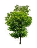 grön treewhite Royaltyfria Foton