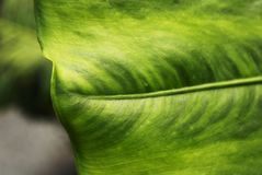 Grön tropisk bladbakgrund, ekologiskt, gräs och abstrakt begrepp Royaltyfria Bilder