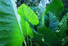Grön tropisk växt Arkivfoton
