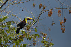 Grön tukan i Osa Peninsula, Costa Rica royaltyfri bild