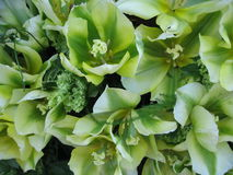 grön tulpan Arkivbild