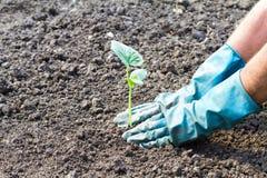 Grön ung växt, grodd Vår och nytt livsymbol, ekologi som arbeta i trädgården royaltyfri bild