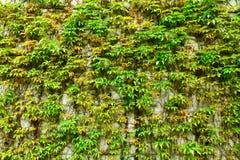 Grön vägg av murgrönasidor arkivfoto