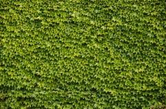 Grön väggbakgrund av den Boston murgrönan Fotografering för Bildbyråer