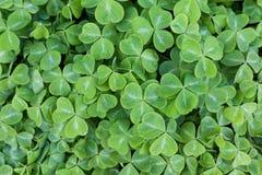 Grön växt av släktet Trifolium Arkivbild