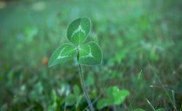 Grön växt av släktet Trifolium i gräset arkivfoton