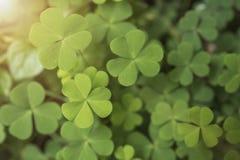 Grön växt av släktet Trifolium lämnar hjärta för bakgrundsnatur Royaltyfri Foto