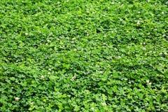 Grön växt av släktet Trifolium på gräsmattan Arkivbild