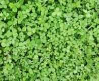 Grön växt av släktet Trifoliumbakgrund & x28; texture& x29; Arkivbilder