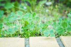 Grön växt av släktet Trifoliumgrupp Arkivbilder