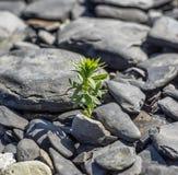 Grön växt bland havsstenar Arkivbild