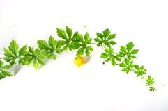 Grön växt för bitter gurka på vit bakgrund royaltyfria foton