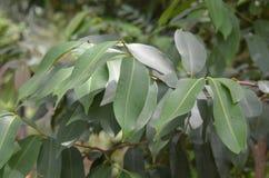 Grön växt för trädgårdmango arkivfoto