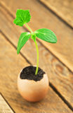 Grön växt i ägg Arkivfoto