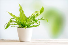 Grön växt i en vit blomkruka Arkivbild