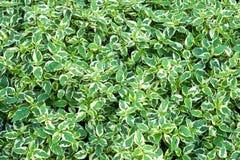 Grön växt i trädgården Royaltyfria Bilder