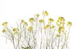Grön växt med gula blommor arkivfoto