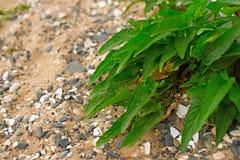 Grön växt med långa sidor på kiselstenar för ett bakgrundshav Royaltyfri Fotografi