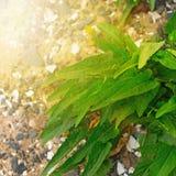 Grön växt med långa sidor på kiselstenar för ett bakgrundshav Arkivfoton