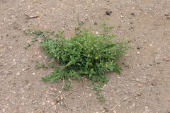 Grön växt, ogräs som spirar till och med asfalt Arkivfoton