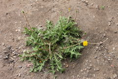 Grön växt, ogräs som spirar till och med asfalt Fotografering för Bildbyråer