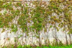 Grön växt på väggen arkivfoton