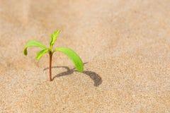 Grön växt som växer i sanden Begreppet av motivationen och ska göra det royaltyfria foton