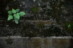 Grön växt som växer i stenvägg Arkivbilder